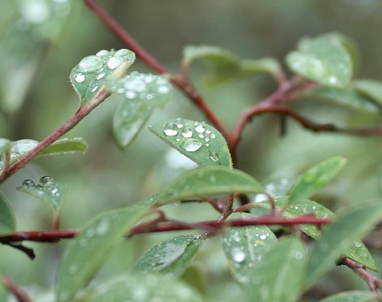 Rain Water Drops on Leaves