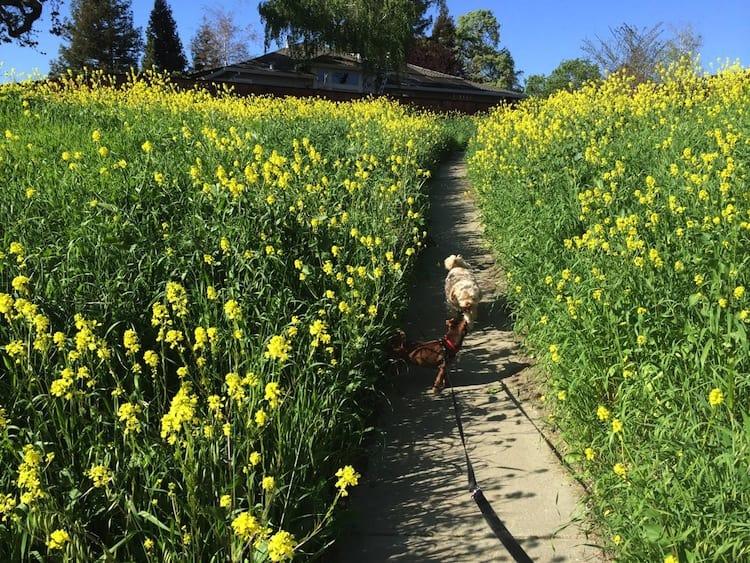Dogs walking among yellow mustard flowers in Danville, CA