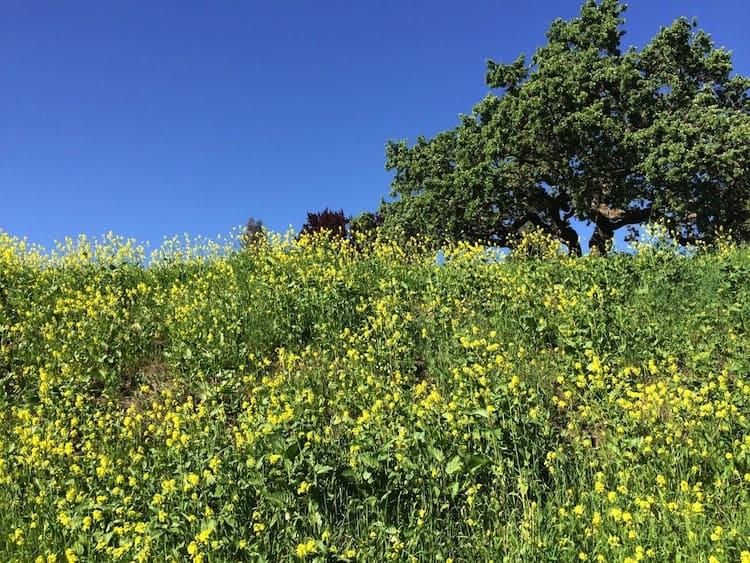 Yellow Mustard Flowers in Danville, CA