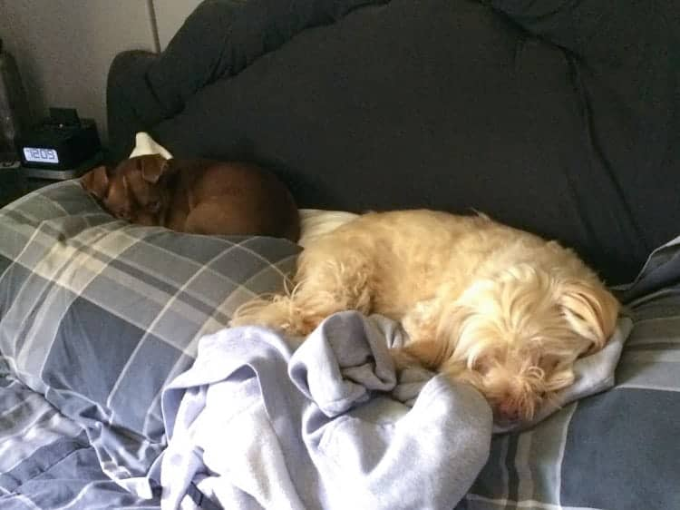 Dogs Hogging Bed Pillows