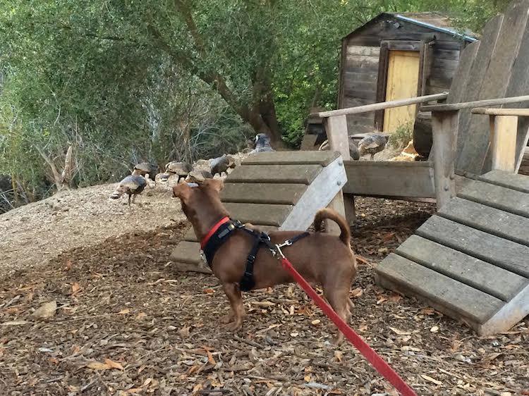 Max Watching Turkeys
