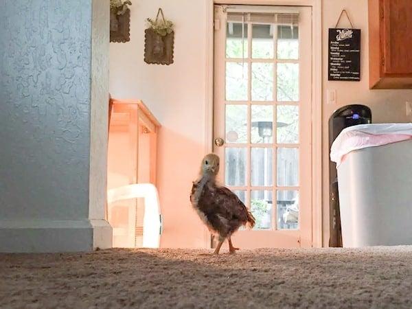 Baby Chicken Breaking Loose