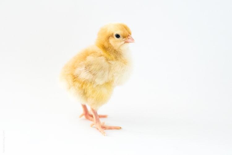 Raising baby chicks, week 1