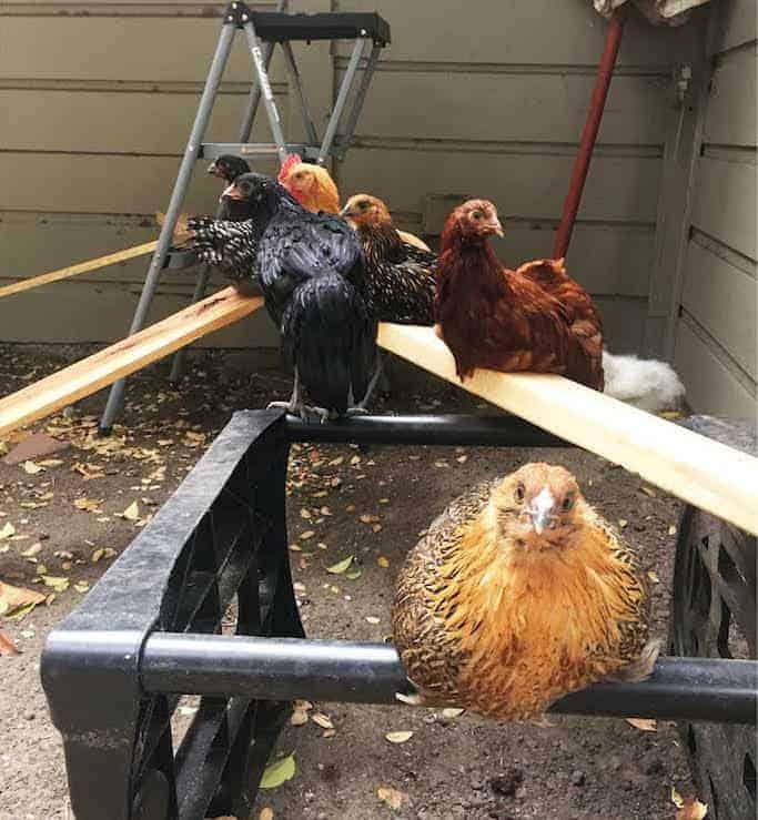 Chickens Playground