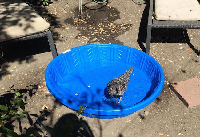 Chicken in a pool