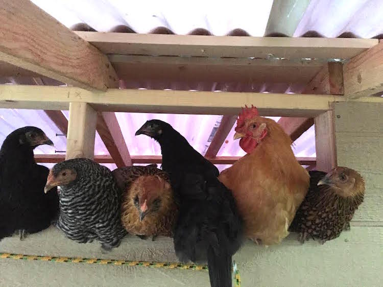 Chickens Squeezed in Window
