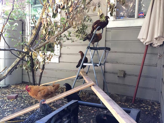 Chickens on a ladder